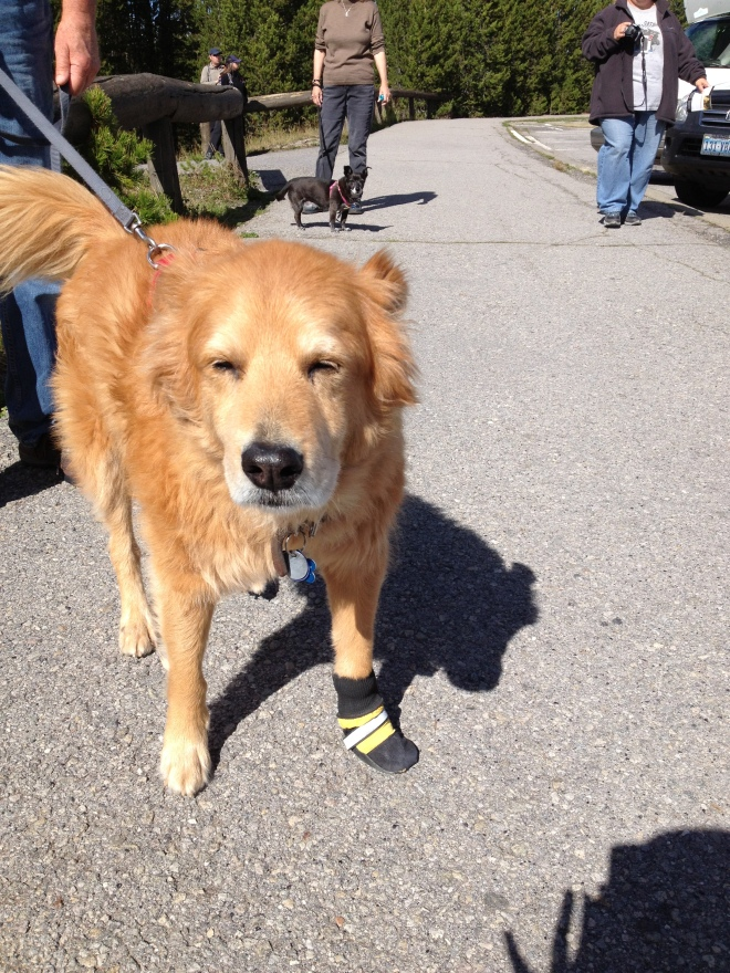 Dog with Sock